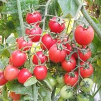 供应小番茄种子奥罗拉